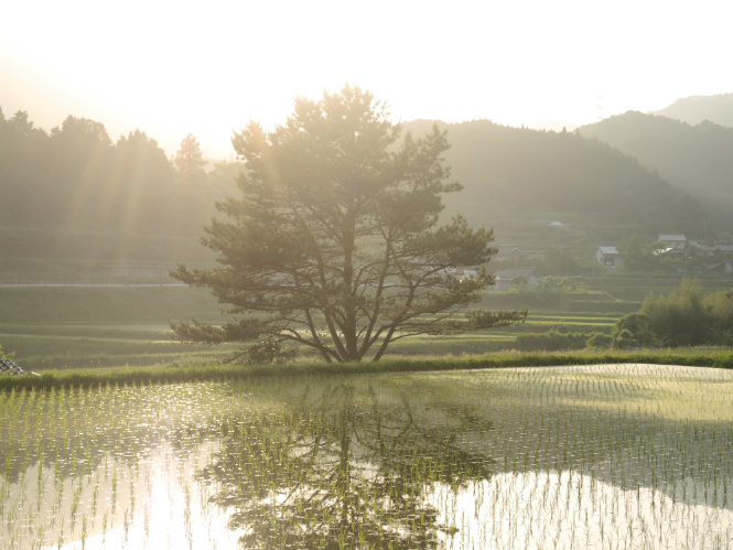 Sunrays_Japan_Ricefield