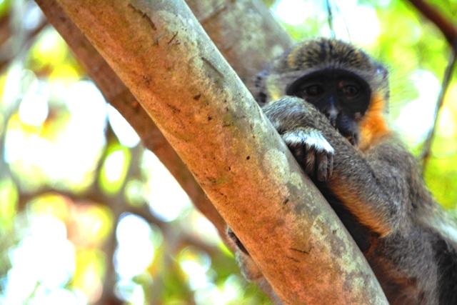 Aapjes kijken in Monkey Forest Gambia