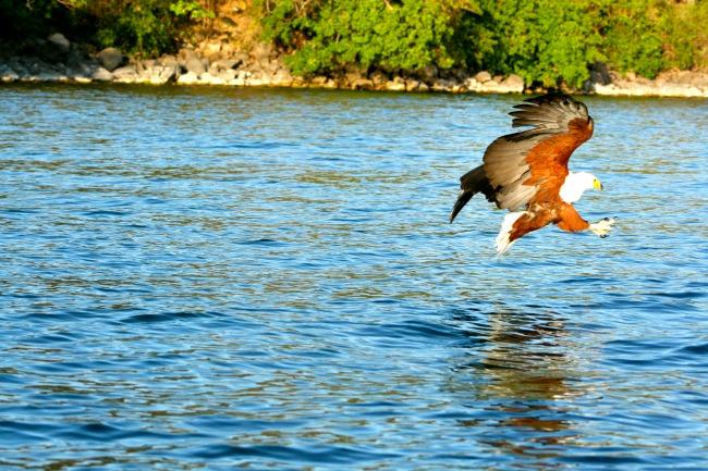 Adelaar Lake Malawi