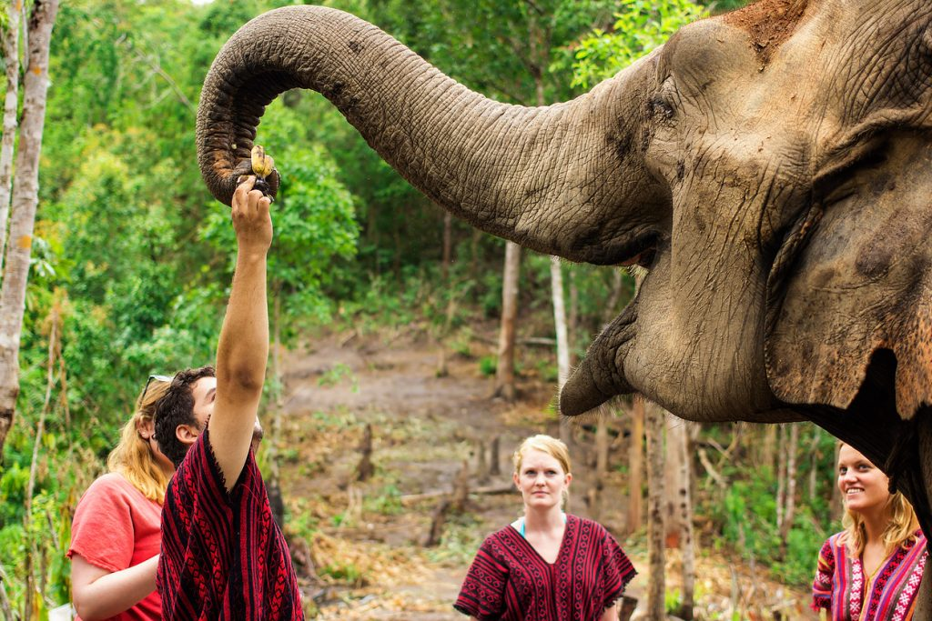 CHIANG MAI, THAILAND - JUNE 26, 2015 : Tourist feeding banana for the elephant in Chiang Mai, Thailand.