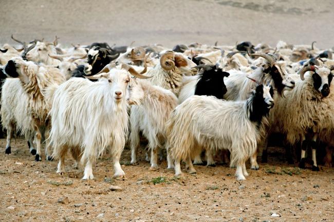 Ladakh schapen