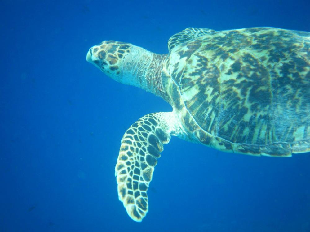 klein-curacao-schildpad