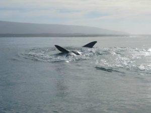 Een walvis tijdens het duiken met witte haaien in Zuid-Afrika