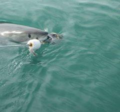 Duiken met witte haaien in Zuid-Afrika