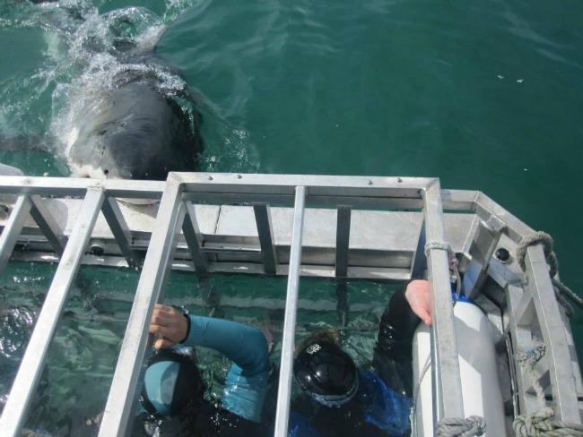 In de kooi tijdens het duiken met witte haaien in Zuid-Afrika