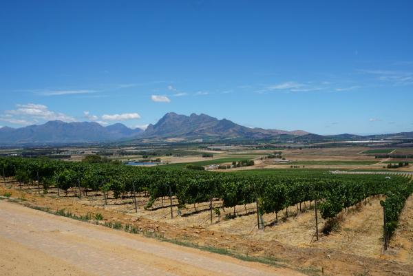 Stellenbosch wijngaarden