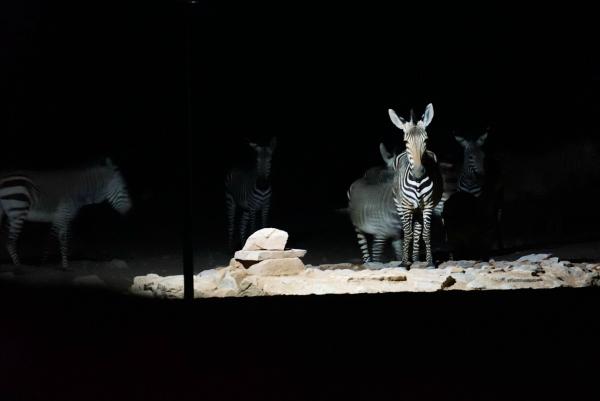 Boesman Farm Zebra
