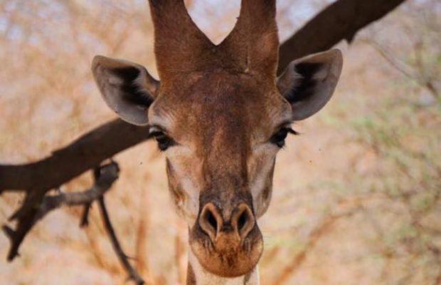 weetjes over giraffen