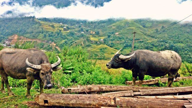 Sapa waterbuffels