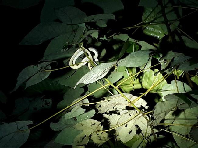 Spot een slang tijdens de nachtwandeling in Bako National Park.