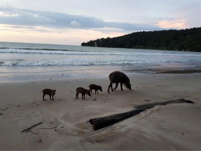 Geniet van groot en klein wild in Bako National Park.